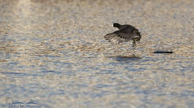 American Coot running on water in afternoon light, Salt Lake County, Utah