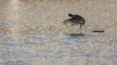 American Coot running on water in afternoon light, Salt Lake County, Utah