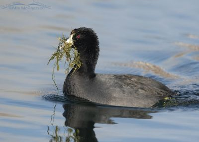 American Coot with a bill full of underwater vegetation, Salt Lake County, Utah