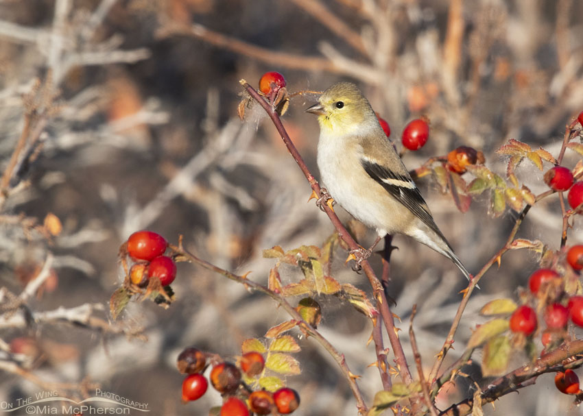 American Goldfinch and Rose hips, Box Elder County, Utah