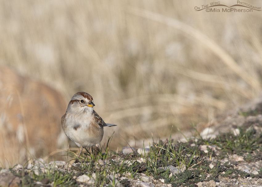 American Tree Sparrow foraging on the bare ground, Antelope Island State Park, Davis County, Utah