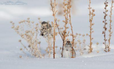 American Tree Sparrow sitting in snow, Antelope Island State Park, Davis County, Utah