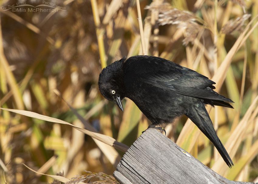 Brewer's Blackbird checking out a fence post, Farmington Bay Waterfowl Management Area, Davis County, Utah