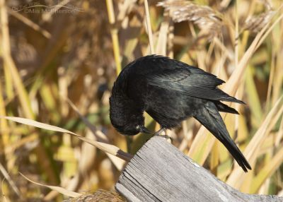 Male Brewer's Blackbird looking at his feet, Farmington Bay Waterfowl Management Area, Davis County, Utah