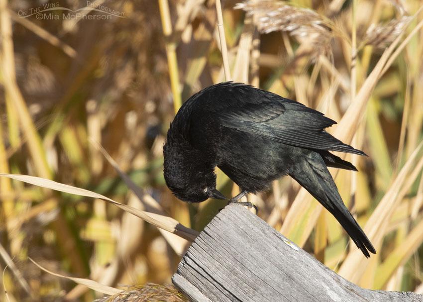 Male Brewer's Blackbird looking at his feet, Farmington Bay Waterfowl Management Area, Davis County, Utah
