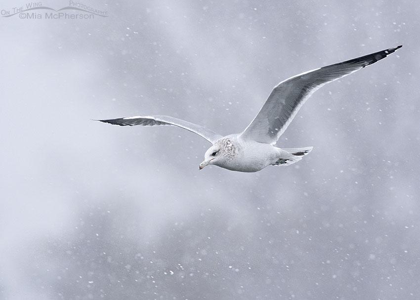 California Gull in flight during a snow storm, Salt Lake County, Utah