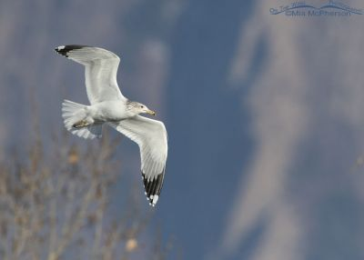 California Gull flying in front of the Wasatch Mountains, Salt Lake County, Utah