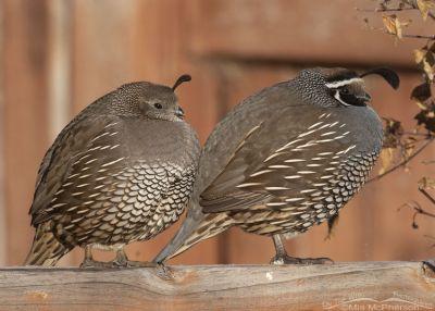 Fluffed up female and male California Quail, Davis County, Utah
