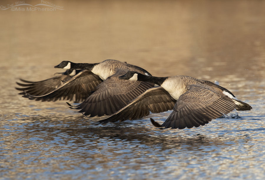 Trio of Canada Geese lifting of in afternoon light, Salt Lake County, Utah