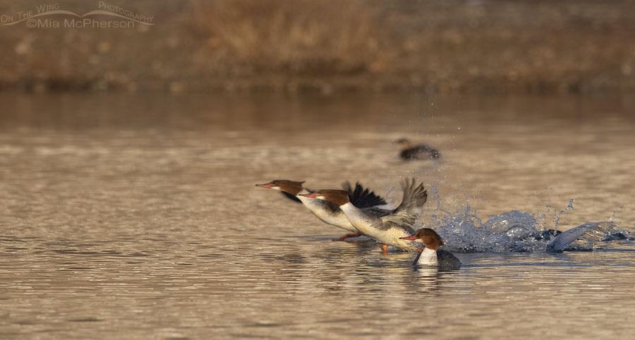 Two Common Mergansers running to lift off in golden light, Salt Lake County, Utah