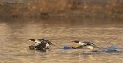 Common Mergansers running across the water, Salt Lake County, Utah