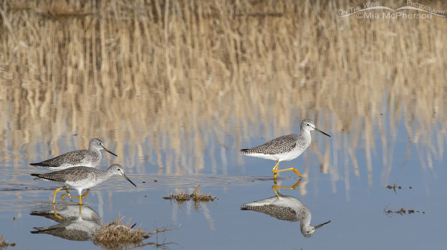 November trio of Greater Yellowlegs, Farmington Bay WMA, Davis County, Utah