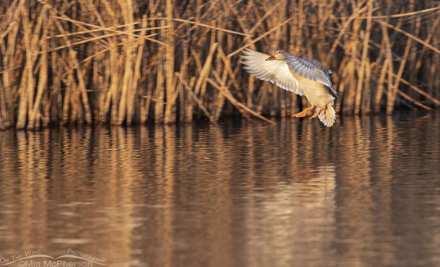 Mallard hen landing in golden light, Salt Lake County, Utah