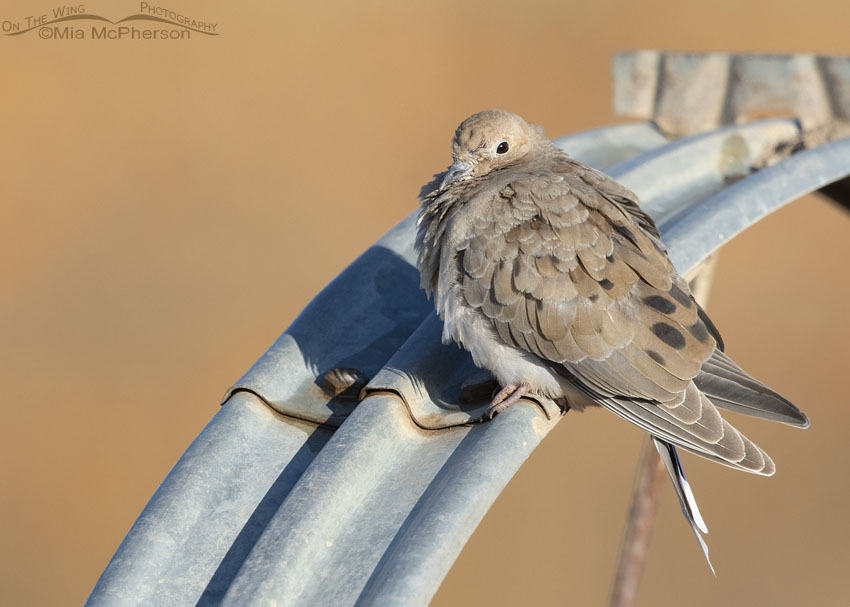 Immature Mourning Dove at a pumpkin patch, Farmington Bay Waterfowl Management Area, Davis County, Utah