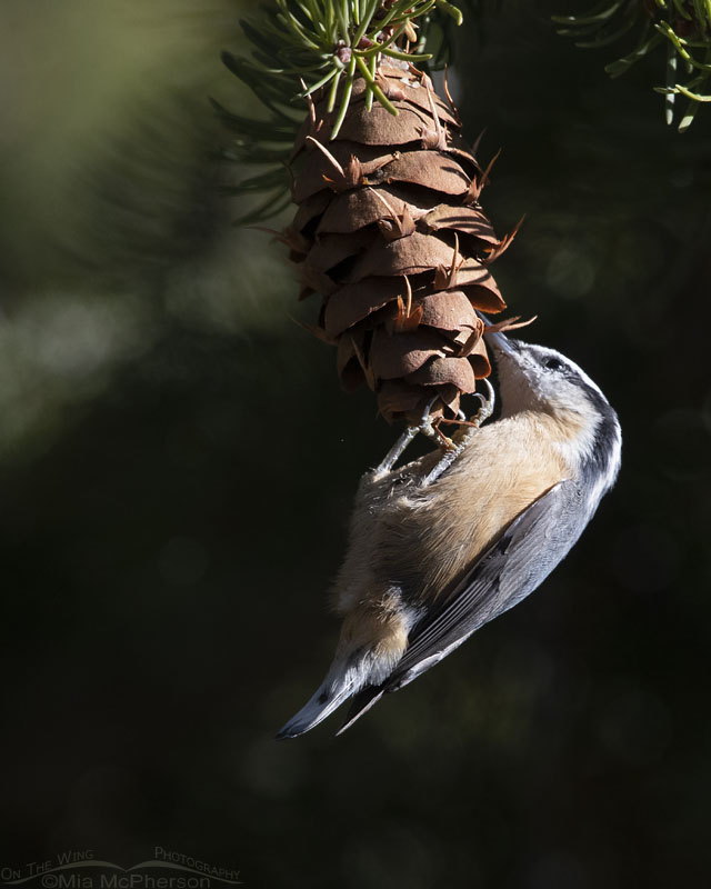 Red-breasted Nuthatch feeding on Douglas Fir cones, Stansbury Mountains, West Desert, Tooele County, Utah