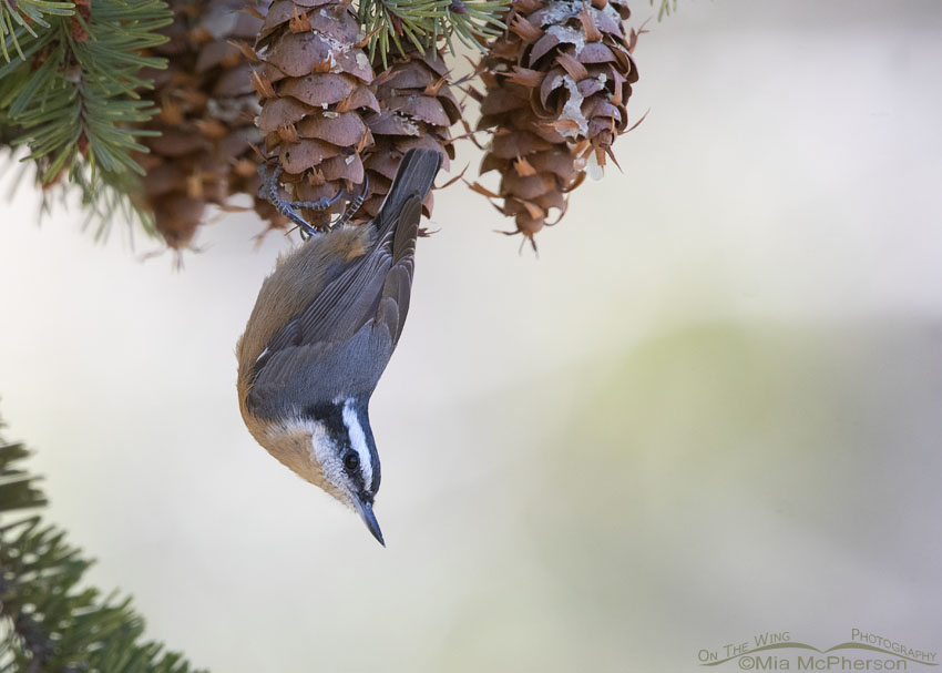 Red-breasted Nuthatch hanging upside down, Stansbury Mountains, West Desert, Tooele County, Utah