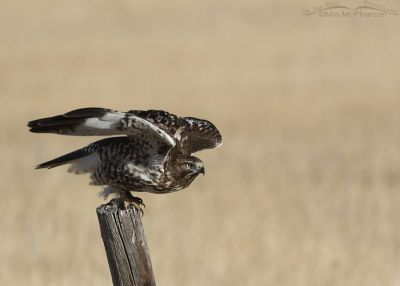 Immature Red-tailed Hawk crouching prior to lift off, East Canyon State Park, Wasatch Mountains, Morgan County, Utah