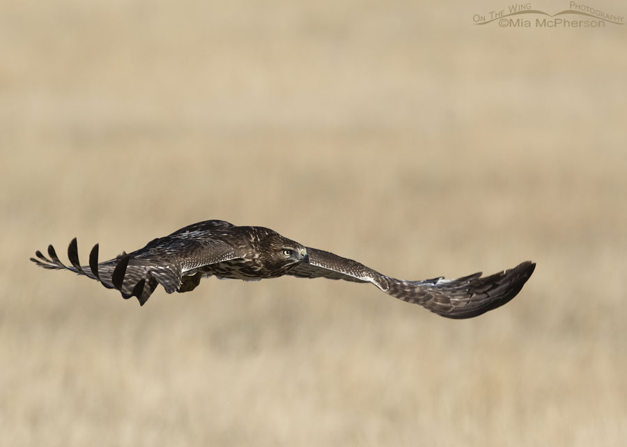 Immature Red-tailed Hawk in flight at East Canyon State Park, Wasatch Mountains, Morgan County, Utah