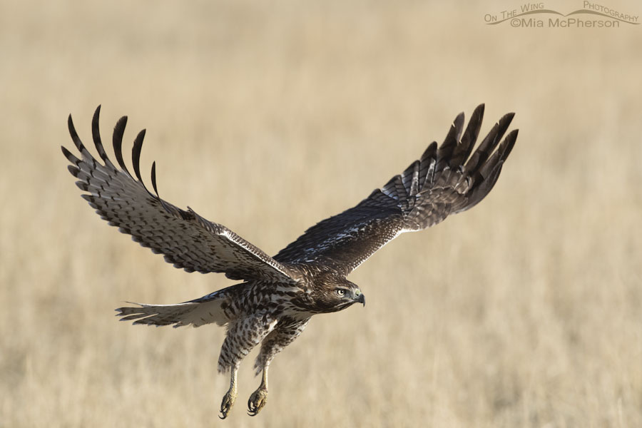 Immature Red-tailed Hawk flying towards prey, East Canyon State Park, Wasatch Mountains, Morgan County, Utah