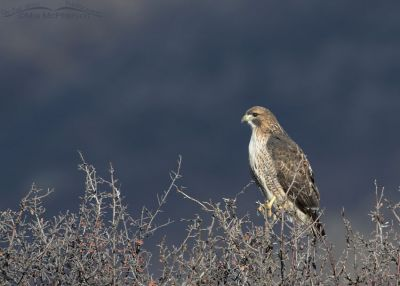 Red-tailed Hawk in sunshine with mountains in the shadows, Wasatch Mountains, Morgan County, Utah