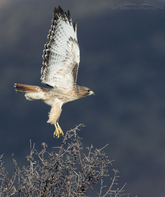 Red-tailed Hawk lifting off in front of mountains in shadows, Wasatch Mountains, Morgan County, Utah