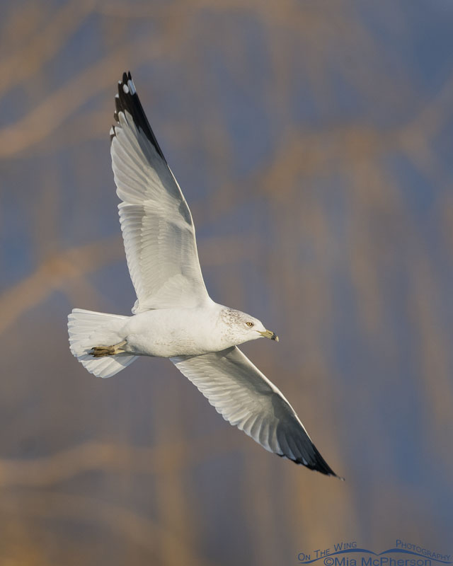 Ring-billed Gull in flight in front of a Willow, Salt Lake County, Utah