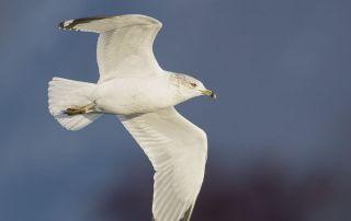 Ring-billed Gull in flight in bright afternoon light, Salt Lake County, Utah