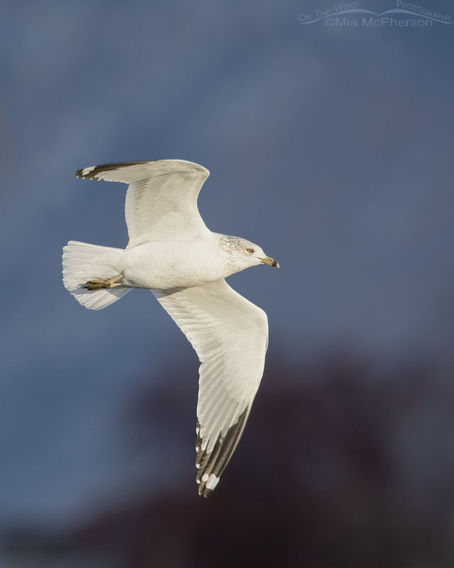 Ring-billed Gull in flight in bright afternoon light, Salt Lake County, Utah