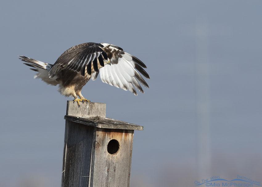 Peek-a-boo Rough-legged Hawk, Farmington Bay WMA, Davis County, Utah