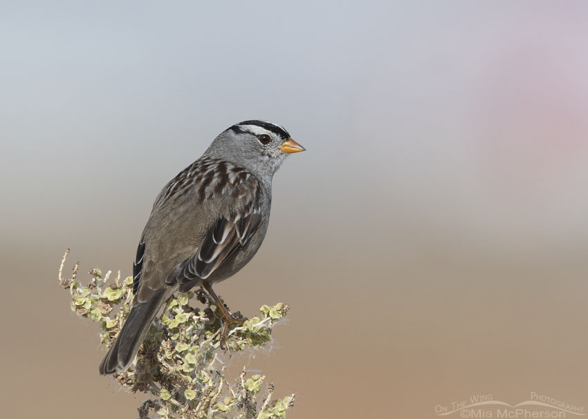 Adult White-crowned Sparrow perched on top of a Greasewood, Farmington Bay WMA, Davis County, Utah