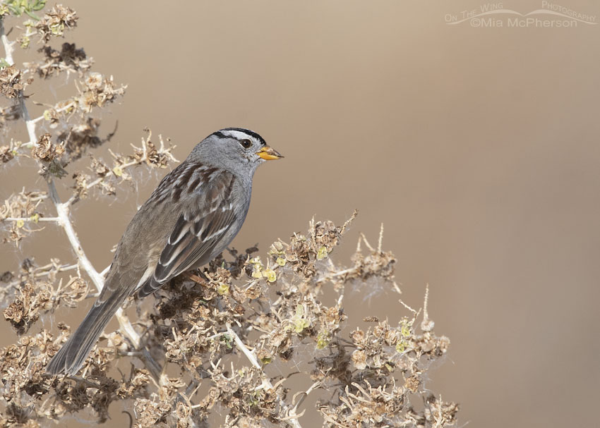 White-crowned Sparrow adult feeding on Greasewood seeds, Farmington Bay WMA, Davis County, Utah