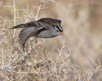 Adult White-crowned Sparrow lifting off from a Greasewood, Farmington Bay WMA, Davis County, Utah