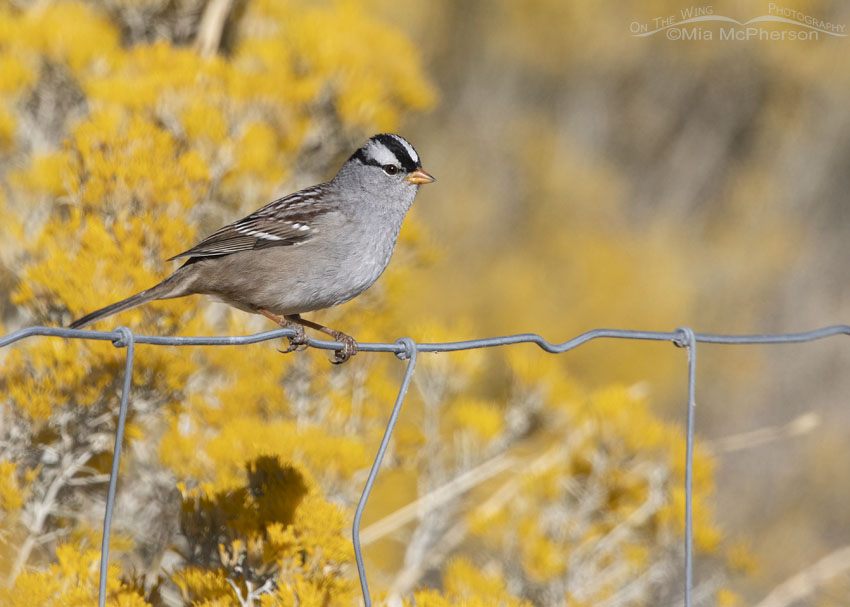 White-crowned Sparrow on a fence with blooming Rabbitbrush in the background, Box Elder County, Utah