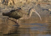 White-faced Ibis with frost on its tail, Farmington Bay WMA, Davis County, Utah