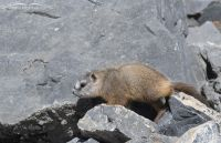 Yellow-bellied Marmot pup with a pale face, Box Elder County, Utah