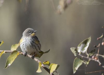Audubon's Yellow-rumped Warbler during fall migration, Box Elder County, Utah