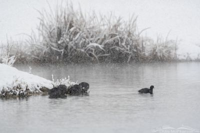 American Coots in a snow storm, Salt Lake County, Utah