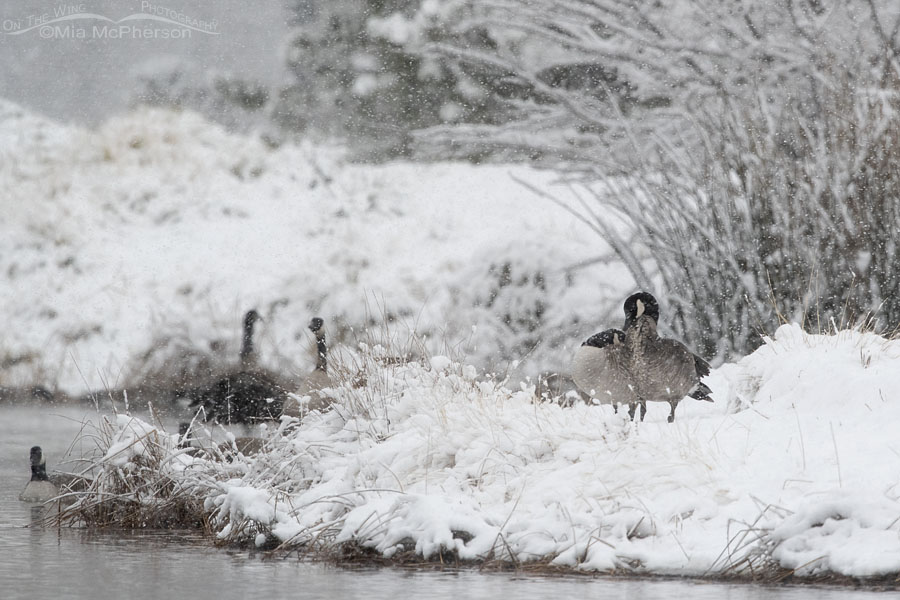 Canada Geese in a winter snow storm, Salt Lake County, Utah