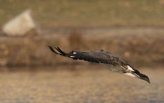 Canada Goose peeking through its wings, Salt Lake County, Utah