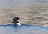 Back view of a drake Common Merganser, Salt Lake County, Utah