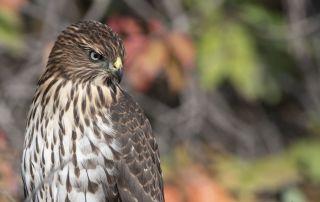 Serious looking juvenile Cooper's Hawk, Morgan County, Utah
