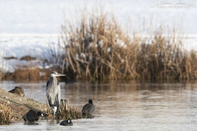 Resting Great Blue Heron with American Coots, Salt Lake County, Utah