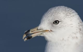 Ring-billed Gull with snow on its bill, Salt Lake County, Utah