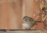 Puffed up Song Sparrow on a frosty fence rail, Davis County, Utah