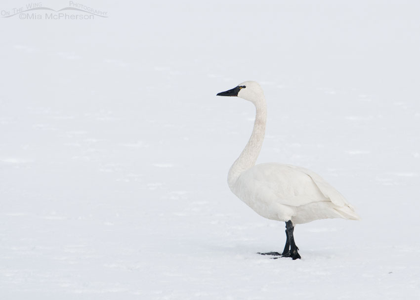 Tundra Swan in a near white out, Antelope Island State Park, Davis County, Utah