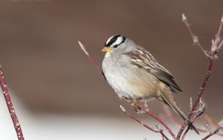 White-crowned Sparrow perched in a red branched bush, Farmington Bay WMA, Davis County, Utah