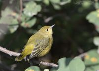 Yellow Warbler looking up into the sky, Wasatch Mountains, Morgan County, Utah